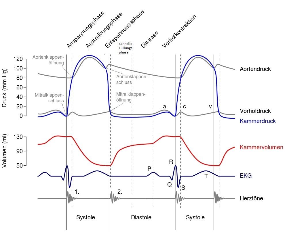 Kardiophysiologie Info